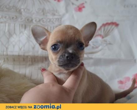 wspaniały miot Chihuahua