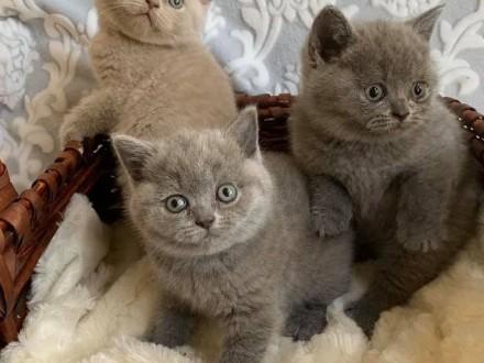 Urocze kocieta Brytyjski krótkowłosy
