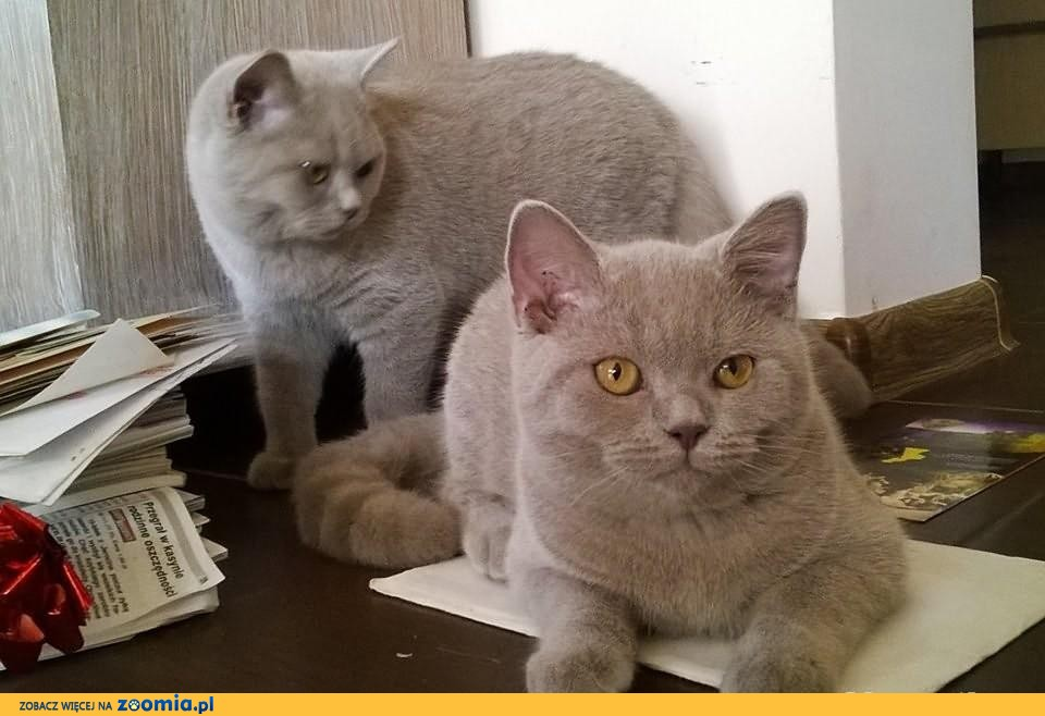 Koty brytyjskie krótkowłose rodowodowe Częstochowa              Rodowód