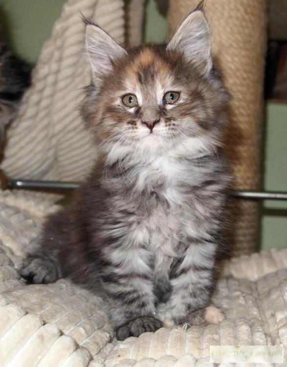 Sympatyczna koteczka Maine coon