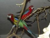 Sprzedam Papugi nierozłączki i rozelle