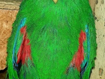 Lora wielka samiec lory wielkie papuga papugi duża dużej budowy