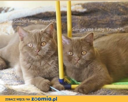 Cynamonowe kocięta brytyjskie rodowód WCF
