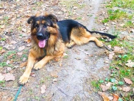 Młody Ivo  pozytywny OWCZAREK  inteligentny pies do adopcji!