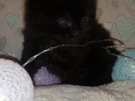 Kocurek Maine Coon Czarny Kocięta