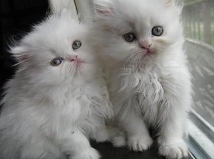 Piękne perskie kocięta