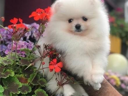 Pomeranian -Szpic miniaturowy z rodowodem międ