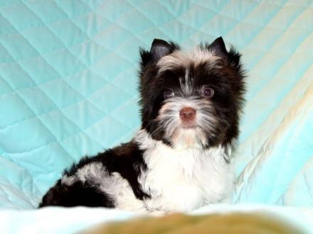York  Yorki  Piesek BIRO Yorkshire Terrier rodowód PFK