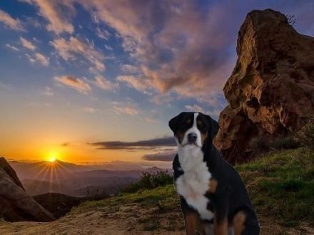 Duży Szwajcarski Pies Pasterski szczeniaki do odbioru w sierpniu 2019r