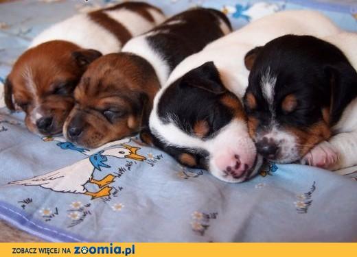 Jack Russell Terrier- gładkowłose szczenięta.,  kujawsko-pomorskie Nakło nad Notecią