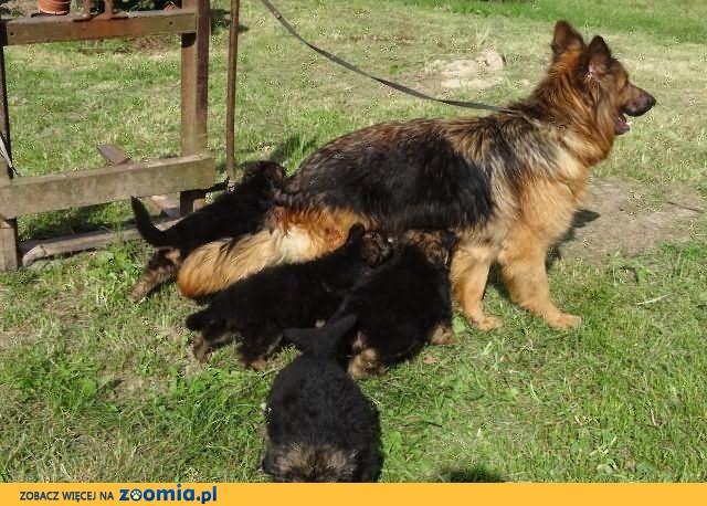 owczarki niemieckie