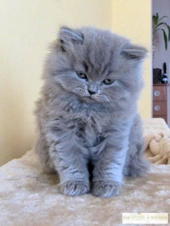 Koty Brytyjskie Niebieskie Rodowodowe Brytyjski Koty Archiwum
