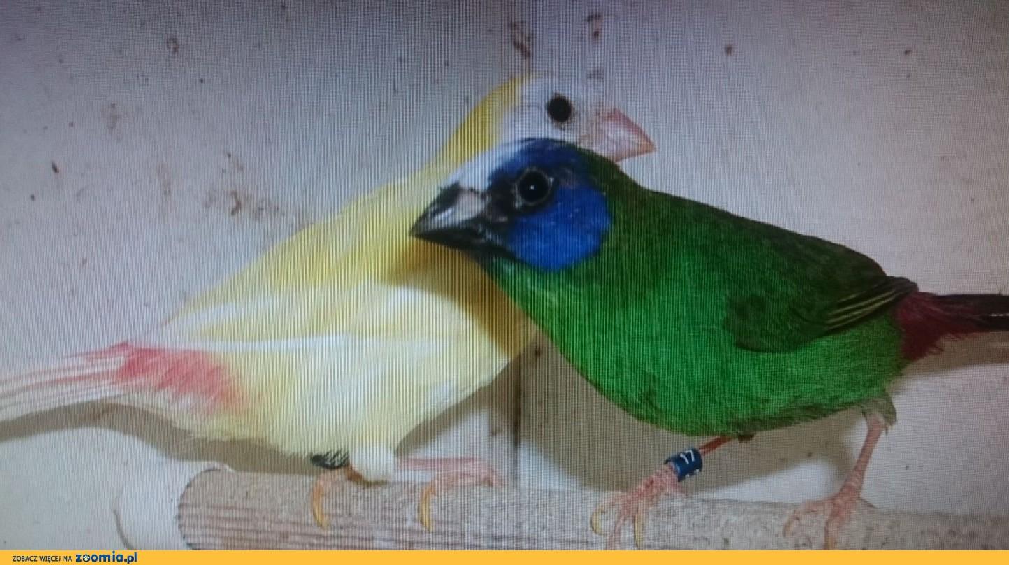 Papuziki trójbarwne para