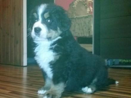 Piękny Berneński Pies Pasterski!