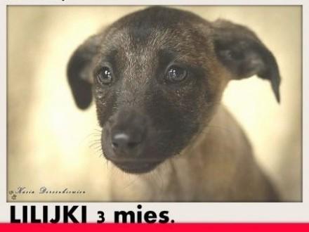 3 mies szczeniaki  suczki LILIJKI średnie szczepioneADOPCJA   mazowieckie Warszawa