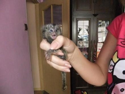 malpa malpka marmozeta białoucha zwyczajna 31-10-2014
