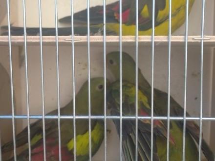 Papugi górski (Berg) dorosła para i samica