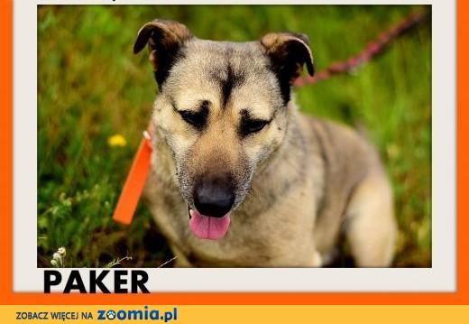 PAKER przyjaciel,średni,łagodny,spokojny pies,krótkie łapki,  wielkopolskie Rzeszów