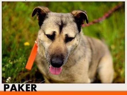 PAKER przyjaciel średni łagodny spokojny pies krótkie łapki   wielkopolskie Rzeszów