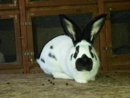 króliki samczyki i samiczki srokacze OSC