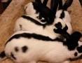 'króliki samczyki i samiczki srokacze OSC