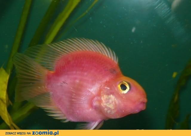 Papuzie ładne ryby akwariowe GREMI Białystok