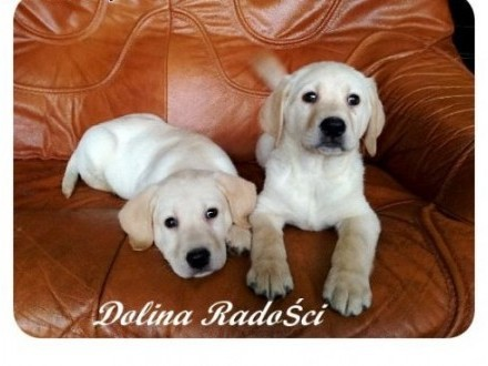 Labrador rodowodowe szczenięta   śląskie Radlin