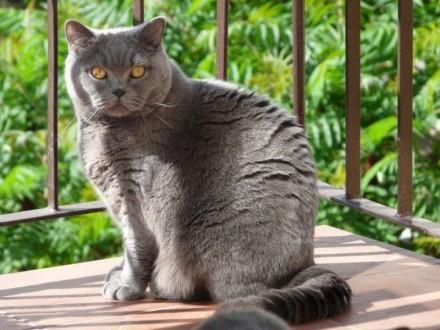 Kot brytyjski adopcja