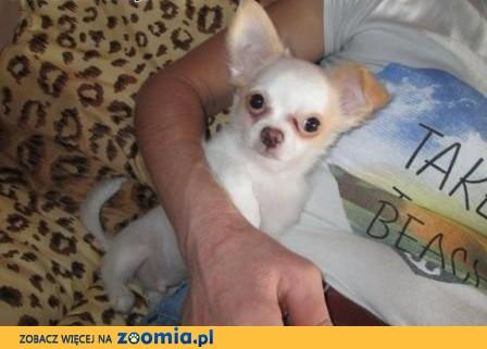 Śliczny pies chihuahua,  wielkopolskie Jarocin