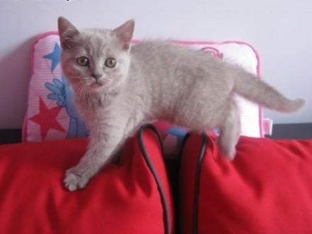 Kot Rasowy Ogłoszenia Z Hodowli Sprzedam Koty Zoomiapl Pl 5