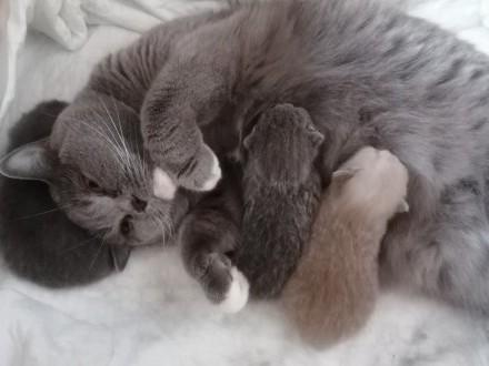 Kotki Brytyjskie Szyrklet - Rodowód