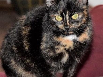 CLEO cudna kotka szylkretka  młodziutka