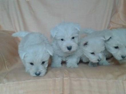West Highland White Terier szczeniaki z metryką ,  West highland white terrier cała Polska