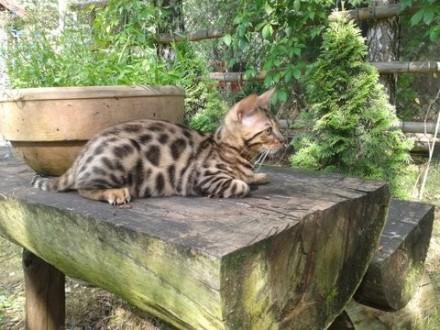 Sprzedam śliczną kotkę bengalsaką rodowód Felis Polonii