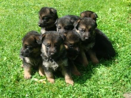 owczarek niemiecki szczeniaki