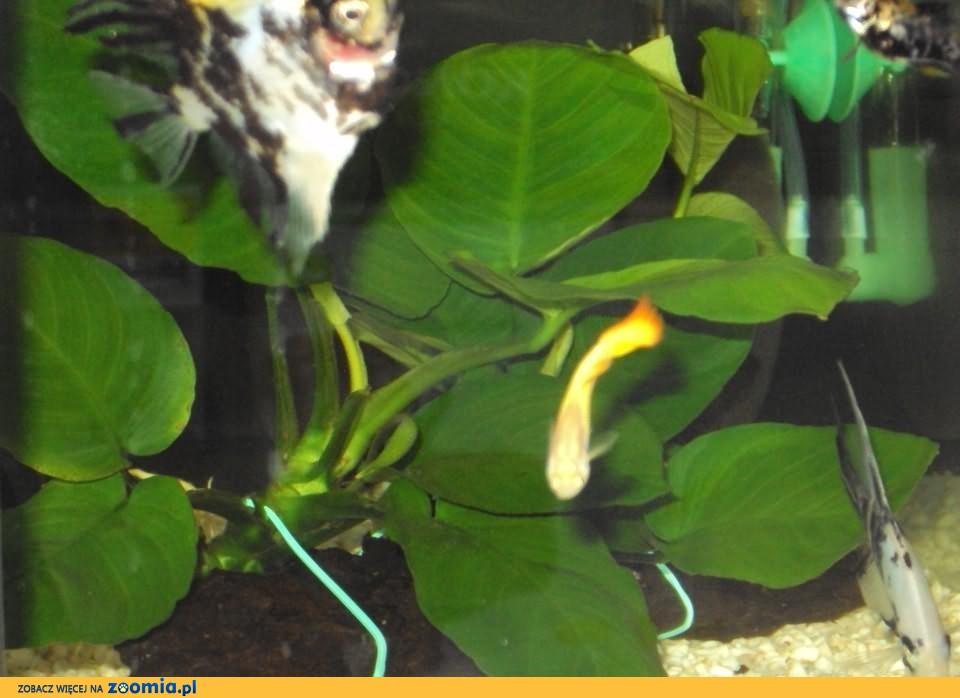 Anubias nana barteri rośliny akwariowe Frontosa Pruszków
