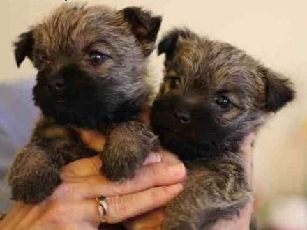 Sprzedam wesołe szczenięta rasy Cairn Terrier!   wielkopolskie Konin