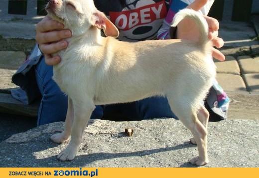 Chihuahua krótkowłosa sunia ZKwP ( FCI),  śląskie Wodzisław Śląski