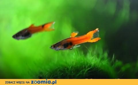 Gupiki Endlera Red Scarlet Poecilia Wingei -stado zarodowe gupik