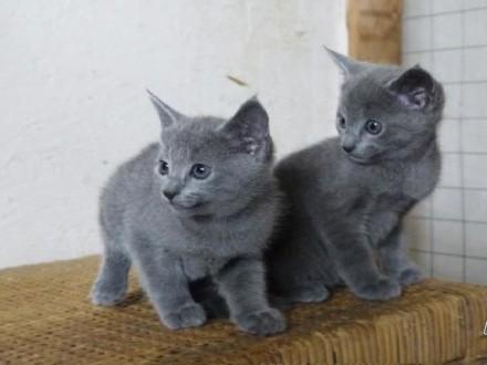 Piękne kocięta rosyjskie niebieskie gotowe