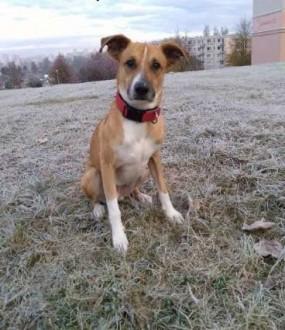 Spike - wesoły  młody pies do adopcji   pomorskie Gdańsk