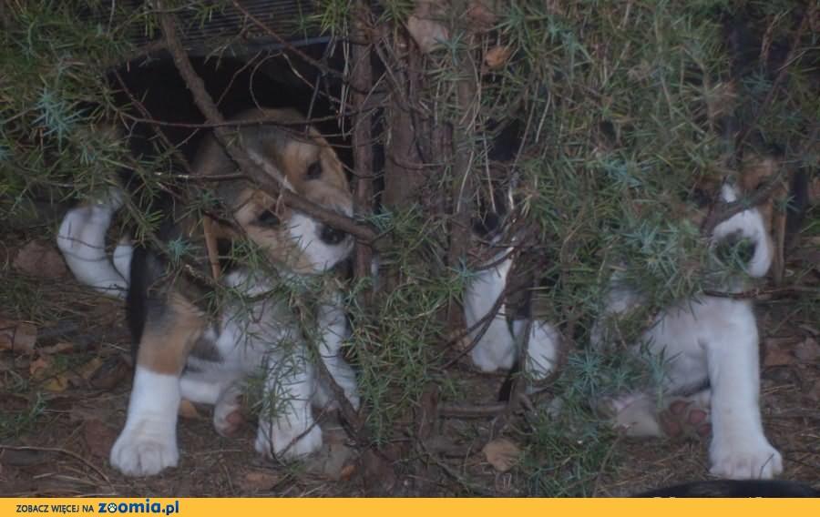 Beagle szczenieta z czolowej polskiej hodowli FCI