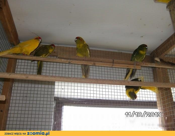Sprzedam Papugi