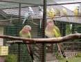 'Sprzedam Papugi