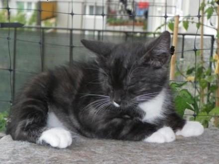Dizel - trzymiesięczny kotek do oddania do adopcji w dobre ręce   mazowieckie Pruszków