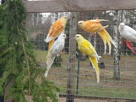 Świergotki Szeki Recesywno Dominujace Oranż