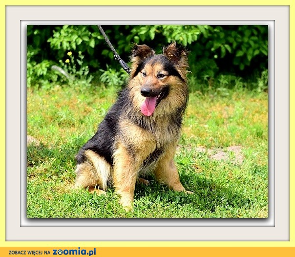 12 kg,do domu z ogródkiem, nie do dzieci, czujny pies PEDRO_Adopcja_