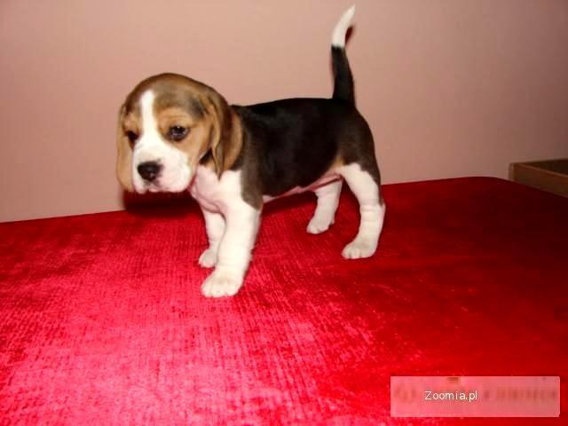beagle Rodowodowe