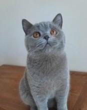kociak- kocurek niebieski z rodowodem FIFe