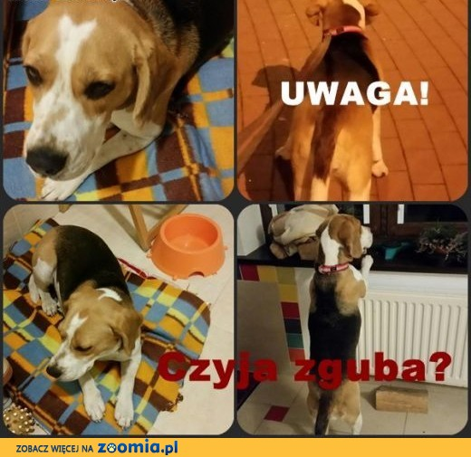 UWAGA  i okolice! Znaleziono sunię beagle! ,  pomorskie Reda